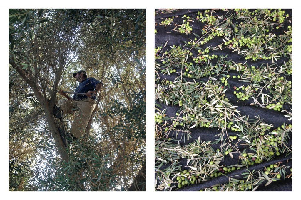 Olives pour blog 2