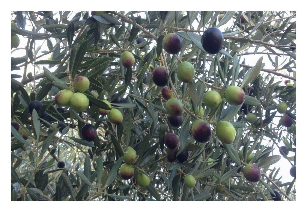 Olives pour blog 3