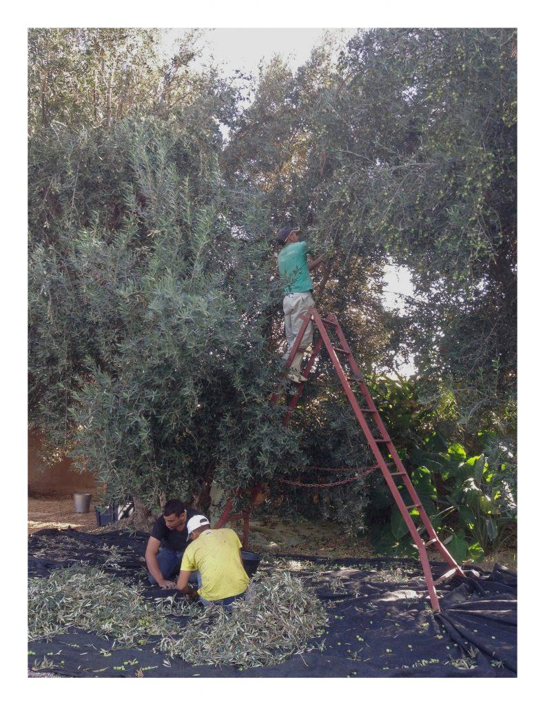 Olives pour blog 4