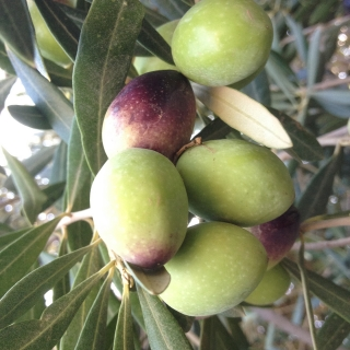 THE OLIVE HARVEST AT DARZAHIA